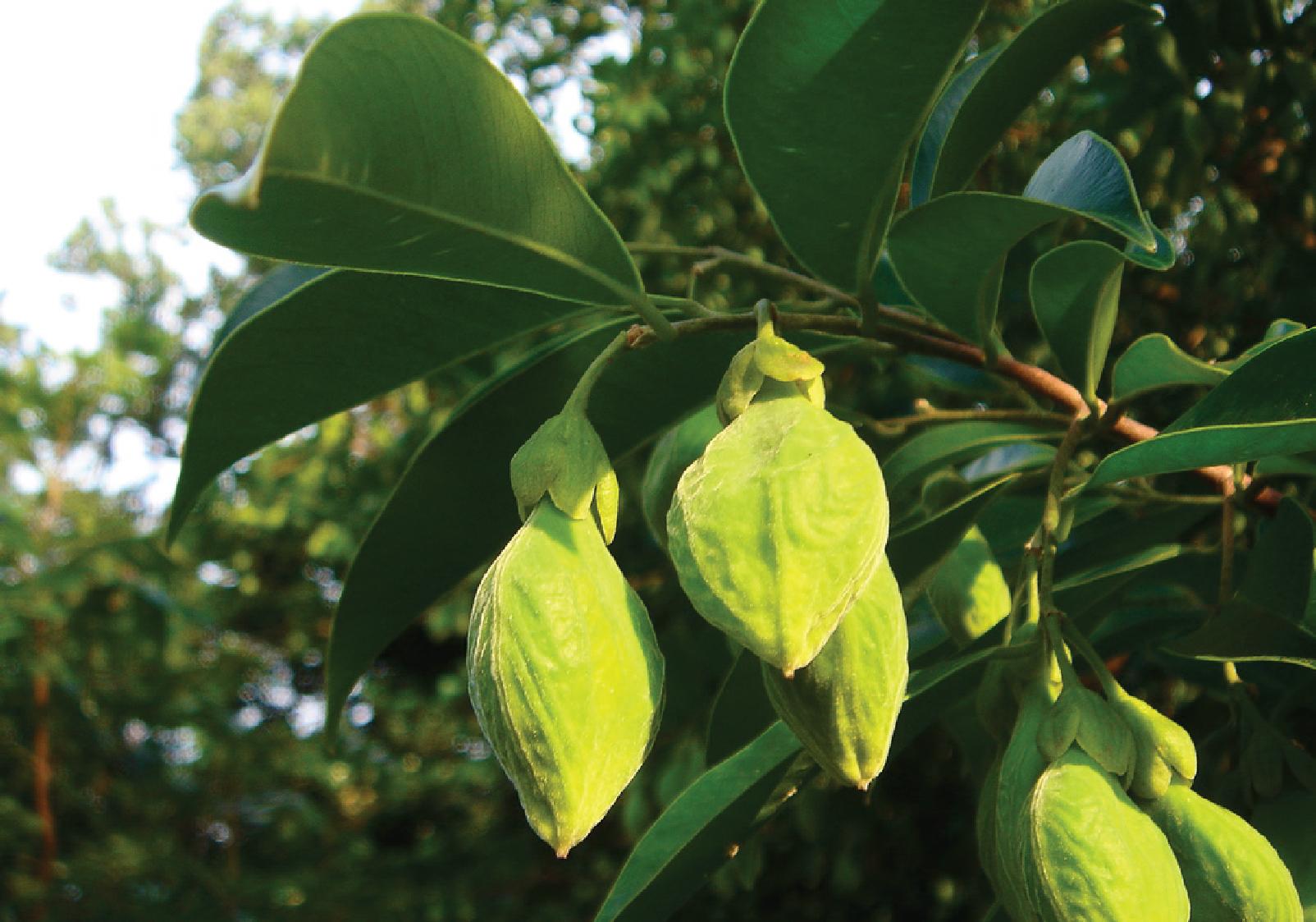 Cây trầm hương như thế nào? Cây trầm hương có tác dụng gì?